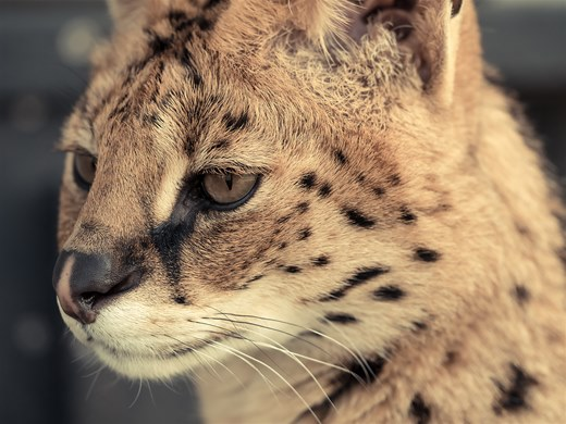 Serval In Thought